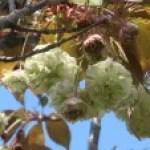 Cerasus serrulata 'Sonosatoryokuryu'/ Cherry var. 'Sonosatoryokuryu'/ ソノサトリョクリュウ