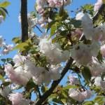 Cerasus serrulata'Moutan'/ Cherry var. Moutan/ ボタン(桜)