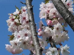 Cerasus serrulata 'Sobanzakura'/ Cherry var. Itsukayama/ イツカヤマ