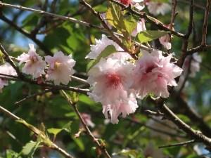 Cerasus 'Watanabe-zakura'/ Cherry var. Watanabe-zakura/ ワタナベザクラ