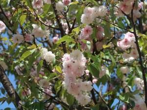 Cerasus serrulata'Shiogama'/ Cherry var. Shiogama/ シオガマ