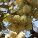 Cerasus serrulata'Sonosatokizakura'/ Cherry var. Sonosatokizakura/ ソノサトキザクラ