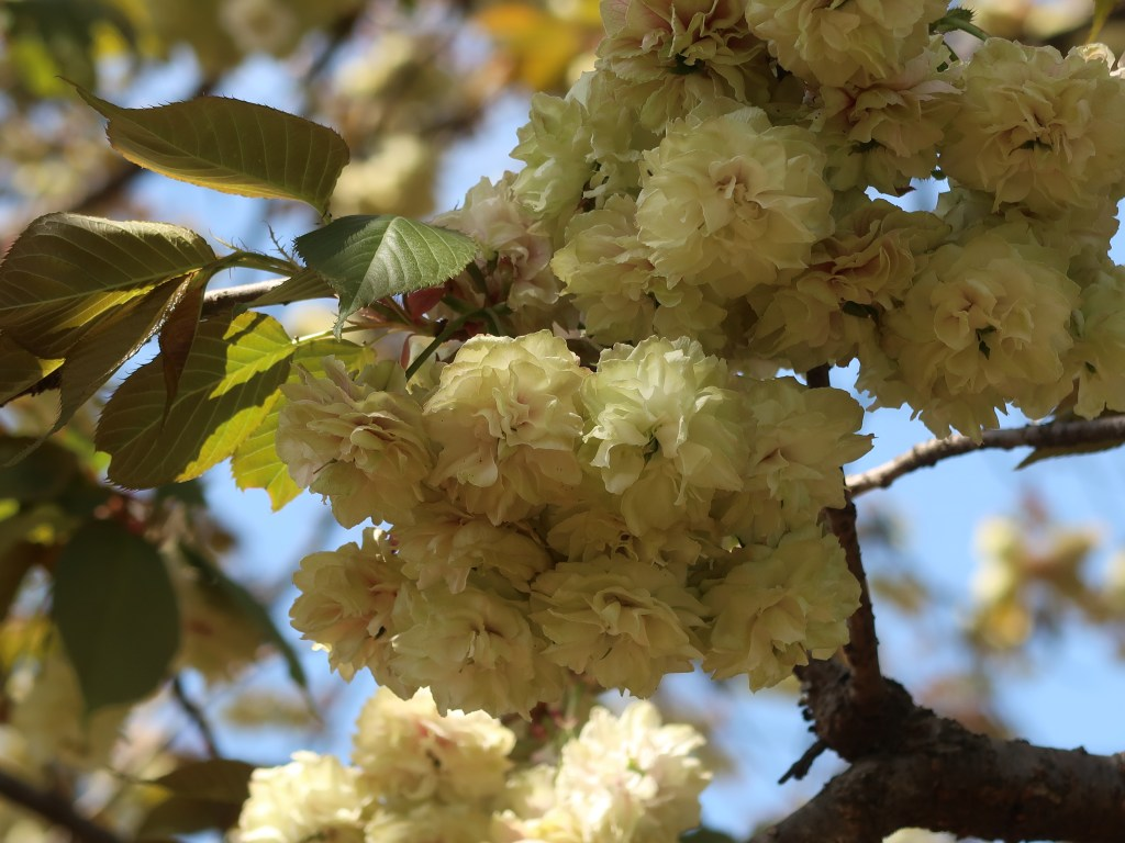 Cerasus serrulata'Sonosatokizakura'/ Cherry var. Sonosatokizakura/ ソノサキキザクラ