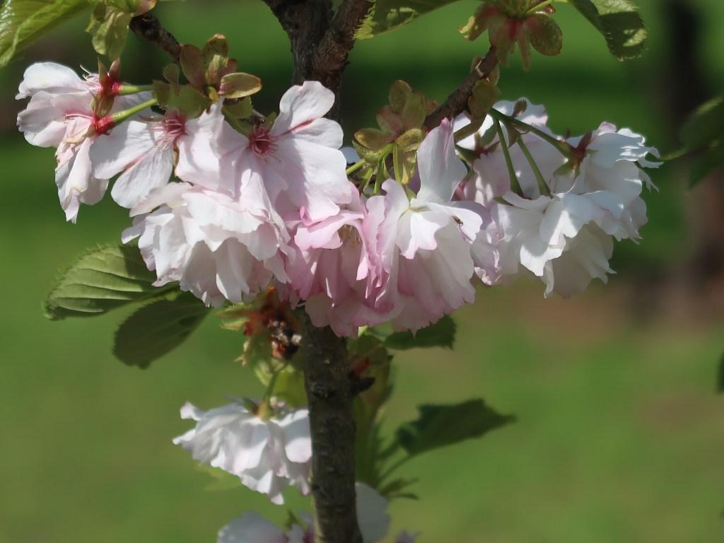 Cerasus 'Kurama'/ Cherry var. Kurama/ クラマ