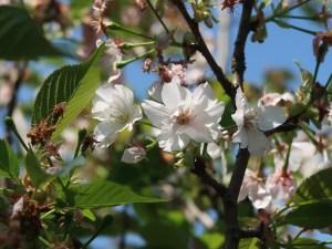 Cerasus serrulata 'Vexillifera'/ Cherry var. Hakusan-hatazakura/ ハクサンハタザクラ