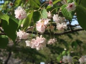 Cerasus jamasakura 'Zenshoji-kikuzakura'/ Cherry var. Zenshoji-kikuzakura/ ゼンショウジキクザクラ