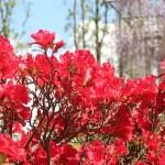Rhododendron sect. Tsutsusi/ Azalea/ ツツジ