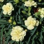 Dianthus caryophyllus/ Carnation/ カーネーション