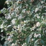 Ligustrum obtusifolium/ Border privet/ イボタノキ