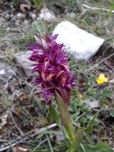 Orchis mascula? / Early-purple orchid/ オルキス・マスクラ