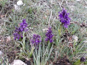 Orchis mascula / Early-purple orchid/ オルキス・マスクラ