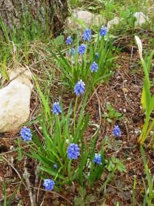 Muscari neglectum/ Grape Hyacinth/ ムスカリ