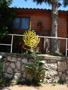 Verbascum thapsus/ Great mullein/ ビロードモウズイカ