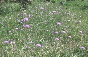 Scabiosa anthemifolia/ Pincushion flower/ スカビオサ