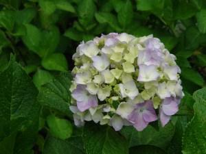 Bigleaf hydrangea アジサイ 品種ウズアジサイ