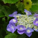 Bigleaf hydrangea アジサイ 品種渥美絞り
