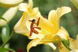 Lilium oriental-trumpet hybrids/ Oriental Trumpet hybrid/ オリエンタルトランペットハイブリット