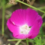 Callirhoe involucrata/ Purple poppy-mallow/ ポピーマロウ
