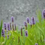 Pontederia cordata/ Pickerelweed/ ナガバミズアオイ