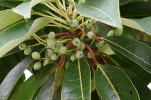 Daphniphyllum macropodum/ False daphne/ ユズリハ