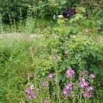 Sidalcea malviflora/ Dwarf checkerbloom/ シダルセア