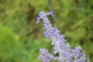 Perovskia atriplicifolia/ Russian sage/ ロシアンセージ