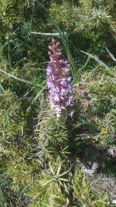 Gymnadenia odoratissima/ Short-spurred fragrant orchid/ ジムナソニア・オドラテッシマ