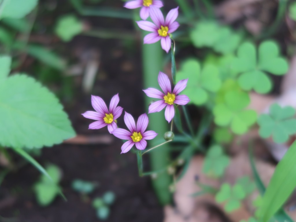 Sisyrinchium rosulatum/ Annual Blue Eyed Grass/ ニワゼキショウ
