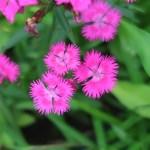 Dianthus/ ナデシコ属