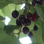 Cerasus ×kanzakura 'Oh-kanzakura'/ Cherry var. Oh-kanzakura/ オオカンザクラ