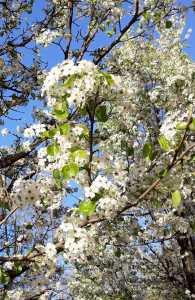 Pyrus spinosa/ Almond pear/ ピラス・アミガイフォルミス