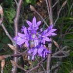 Campanula graminifolia/ Blue grassy bells/ カンパニュラ・グラミニフォリア