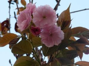 Cerasus serrulata cv. Kanzan/ Cherry var. Kanzan カンザン