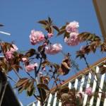 Cerasus serrulata cv. Kanzan/ Cherry var. Kanzan カンザンCerasus serrulata cv. Kanzan/ Cherry var. Kanzan カンザン