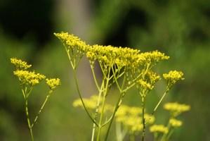 Patrinia scabiosifolia/ Patrinia/ オミナエシ 女郎花