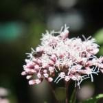 Eupatorium japonicum/ Thoroughwort/ フジバカマ