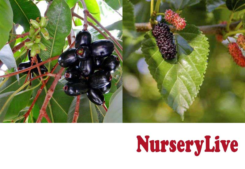 22 Best Indian Fruit Plants from NurseryLive