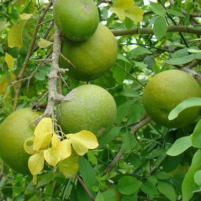 Bel Tree, Bilva Patra, Bel Patra ( Grown through seeds ) - Plant