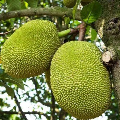 Jack Fruit, Kathal, Artocarpus Heterophyllus ( Grown through seeds ) - Plant