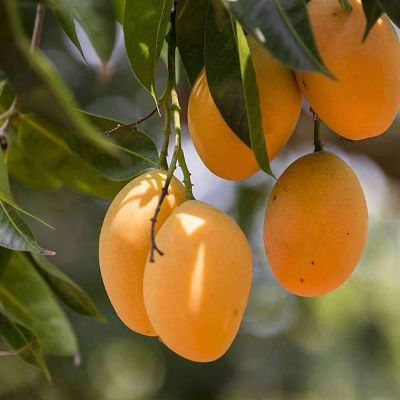 Mango Tree (Grown through seeds) - Plant