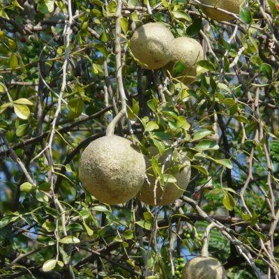 Woodapple, Kavath - Plant