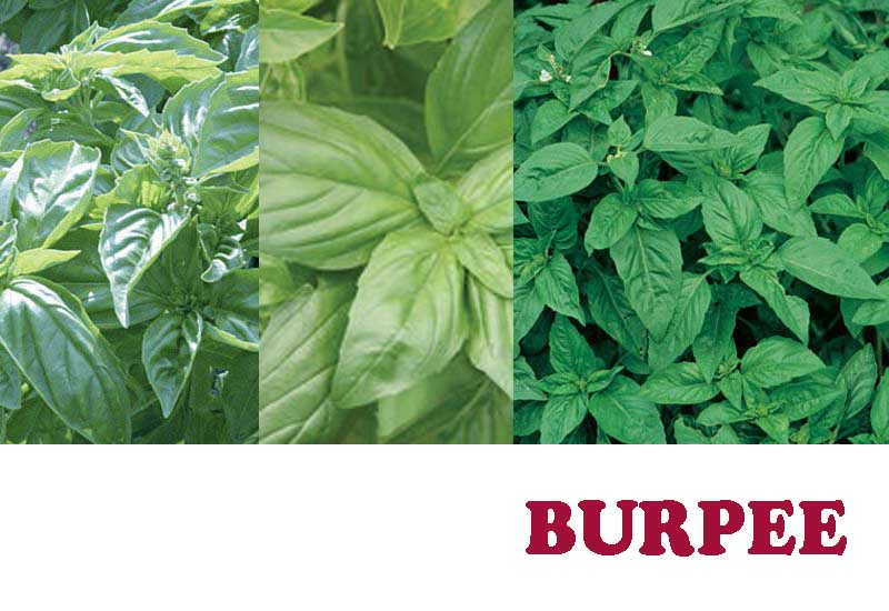 13 Best Organic Herb Seeds from BURPEE