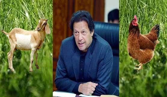 Imran Khan, poverty, hens, goats,