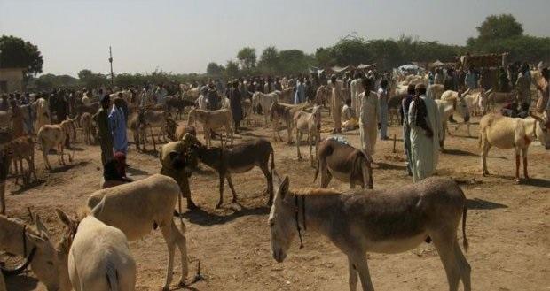 Donkey market, Pakistani city, Badin, annual
