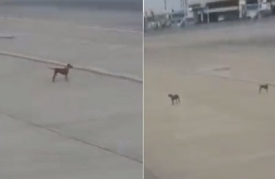 Stray dogs Karachi airport, stray dogs, Karachi