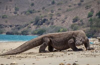 Komodo dragon, species, extinction, IUCN