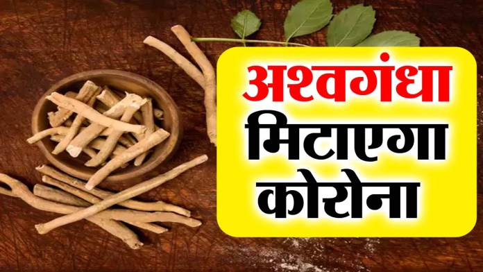 Ashwagandha can now do Ramban's work in the treatment of corona, this thing came out in research