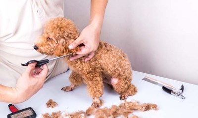 CLIPPERS TO SUIT YOUR POODLE