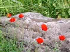 Poppy Rock