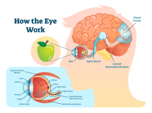 Neuroadaptation: The optic nerve and its pathway in the brain to the visual cortex where vision is generated.